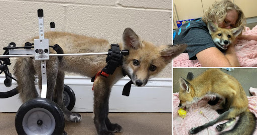 Abandoned baby fox who can't use her back legs given special wheelchair