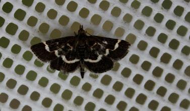 Photo: Pyrausta nigrata   Lepidoptera > Crambidae
