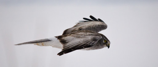 Photo: Northern Harrier, male