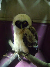 Photo: Spectacled Owl 2012-08-34