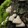 Hoof fungus