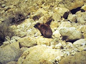 Photo: Irace (Procavia capensis)