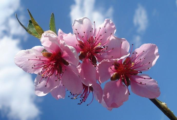 Колоновидные персики и нектарины