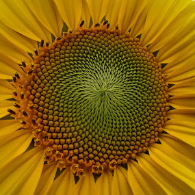 Center of Sunny by Vivian Gordon - Nature Up Close Flowers - 2011-2013 ( vigor, nature, sunflower, summer, yellow, closeup )