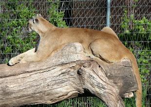 Photo: 07/06/2013 - Bear Country Park, Rapid City, South Dakota - Black Bear - Mountain Lion