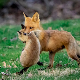 Mama fox carrying her baby fox by Debbie Quick - Animals Other Mammals ( rhinebeck, debbie quick, nature, outdoor photography, nature up close, nature lovers, natures best shots, new york, debs creative images, fox, national geographic, outdoor magazine, red fox, outdoors, mammal, animal lovers, animal, hudson valley,  )
