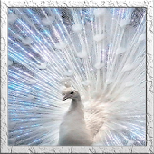 White Peacock Live Wallpaper