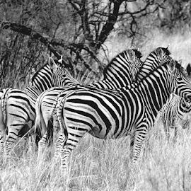 Zebras by Johan Joubert - Black & White Animals ( zebra, stripes, kruger park, painted horses, wildlife )
