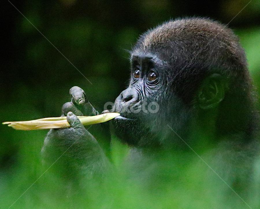 Baby Lowland Gorilla takes a snack break by John Larson - Animals Other Mammals