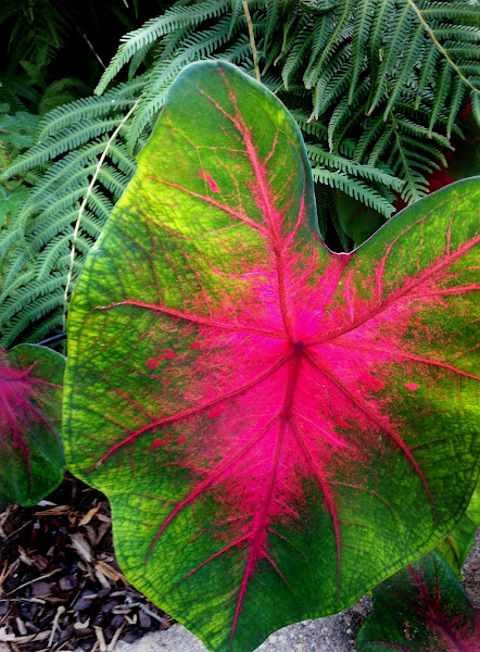 Photo: This leaf had the sunlight shining through it from the back side. I love how things look when they are back-lit.