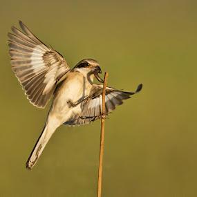 Redbacked Shrike by Robbie Aspeling - Animals Birds ( bird, flight, avian, south africa, shrike )