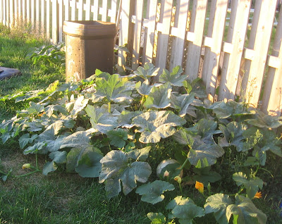 Our pumpkin patch