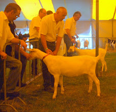 Photo: Rubriek 5: witte lammeren geboren tussen 9-2 en 24-2 2013.  1a. Marijke 205.