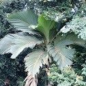 Latanier Palm