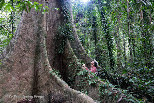 How to Organize your Trip to See Wild Orangutans in Kutai National Park // Feeling tiny standing by Meranti tree buttress roots