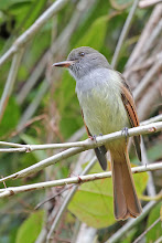 Photo: Rufous-tailed Flycatcher