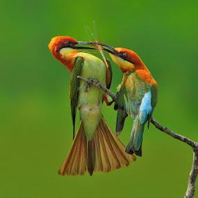 Chestnut-Headed Bee-eater by Sasi- Smit - Animals Birds