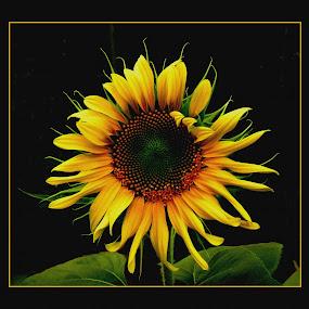 SUNFLOWER  IN  GARDEN by Patti Westberry - Nature Up Close Flowers - 2011-2013 ( sunflower, flower,  )