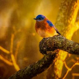 Sunshine on my Shoulders by Robert Mullen - Digital Art Animals ( bird, bluebird, park, trees, sunshine, woods, birds, branches,  )