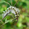 larva of rose-myrtle lappet moth 青枯葉蛾