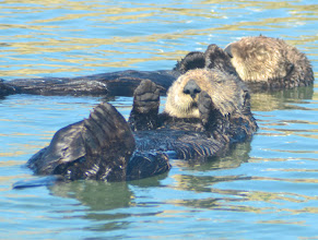 Photo: 125. Sea otters - fascinating animals to watch in the wild like this.