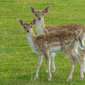 Fallow Deer by Jolyon Vincent - Animals Other Mammals