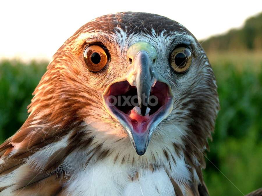 Open Wide by Kristine Vann - Animals Birds ( bird, scary, predator, macro, red tail, nature, summer, falcon, flaconry, photography, red tail hawk, hawk )