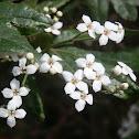 Tree Zieria