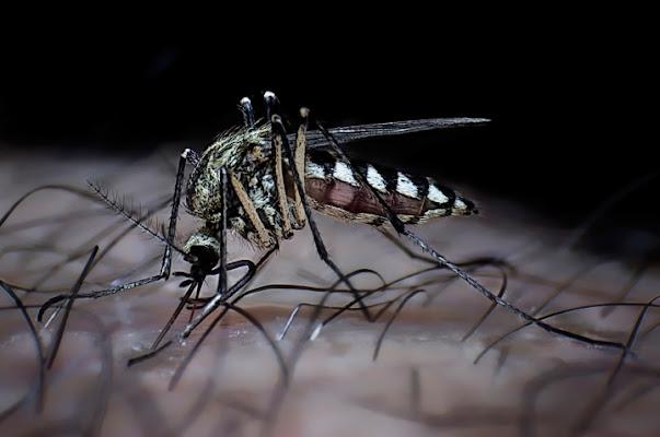 Mosquito di luciano s