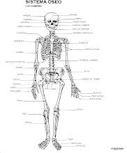 Photo: cuerpo humano sistema óseo