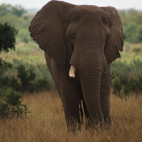 Elephant by David Botha - Animals Other Mammals ( animal )