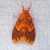 Crimson Streak Barrow Moth