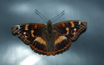 Photo: Apatura ilia  Lepidoptera Nymphalidae