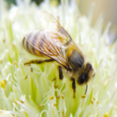 Beekeeping and bee diseases