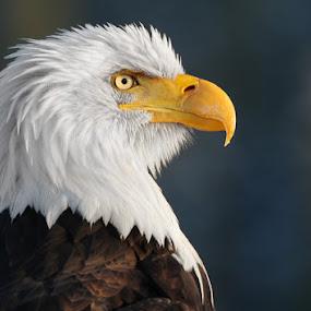Proud by Pam Mullins - Animals Birds ( bird, canada, nature, bald eagle, wildlife, rptor )