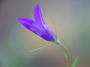 Photo: Campanula lusitanica