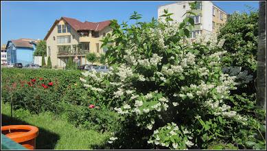 Photo: Calea Victoriei, spatiu verde - Deutia (Deutzia scabra) - 2017.06.03