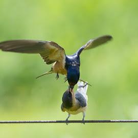Swallows Feeding @ Middlecreek.jpg by Jerry Hoffman - Animals Birds (  )