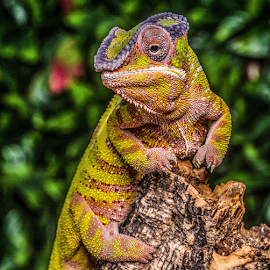 Chameleon by Garry Chisholm - Animals Reptiles ( chameleon, nature, reptile, lizard, garry chisholm )