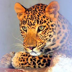 leopard, zoo pics by Ashutosh Singhvi - Animals Lions, Tigers & Big Cats ( leopard,  )