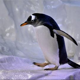penguin by Nic Scott - Animals Other ( penguin,  )