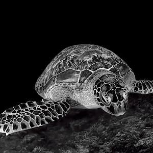 Turtle-9 Bea BW Pixoto.jpg