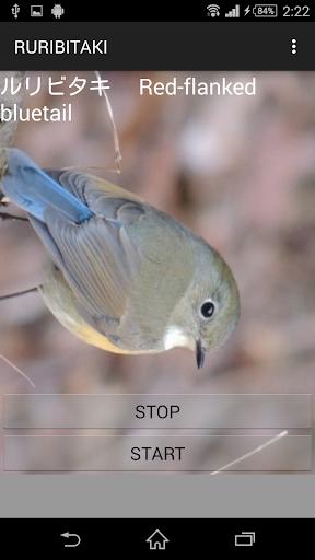 鳥鳴き声ルリビタキ