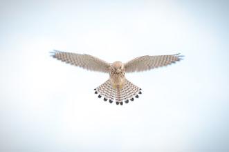 Photo: Peregrine Falcon (Wanderfalke); Spiekeroog, DE