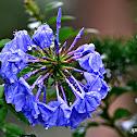 SPIRAL PURPLE PLANT
