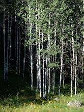 Photo: Aspen grove