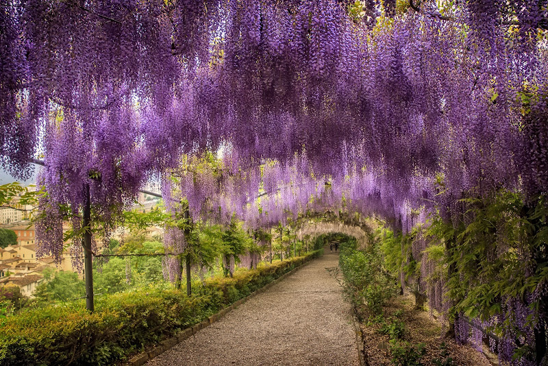 Giardino Villa Baldini - Firenze: la fiorita del Glicine di Patrix