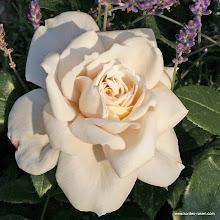 Photo: Beetrose Lions-Rose®, Züchter: W. Kordes' Söhne 2002