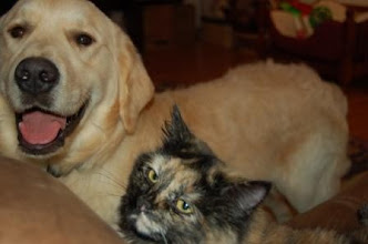Photo: Golden Retriever puppy laying with our cat.
