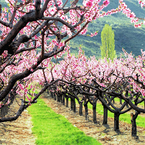 Apple Blossoms in all their Beauty by Don Mann - Nature Up Close Trees & Bushes ( canada, trees, flowers, bc, blossoms, flower, nature )